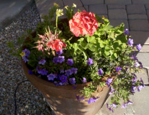 geraniums potted plants mini calibrachoa