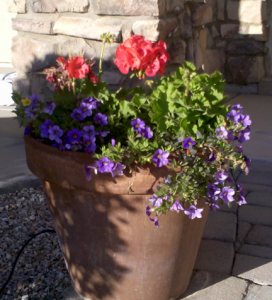 geranium and mini calibrachoa potted plants
