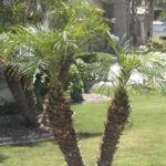 pygmy date palm