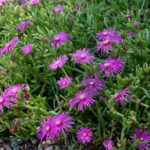 Purple Trailing Ice Plant -Delosperma Cooperi