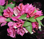 Torch-Glow-bougainvillea