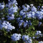 blue_plumbago