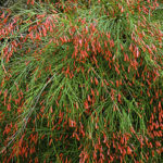 coral-fountain-grass