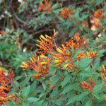 fire cracker bush
