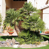 Med Fan Palm