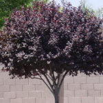 purple_leaf_plum_tree