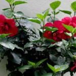 red_hibiscus_bush