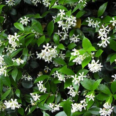 Star Jasmine – Trachelospermum Jasminoides