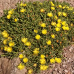 Ice Plant Yellow