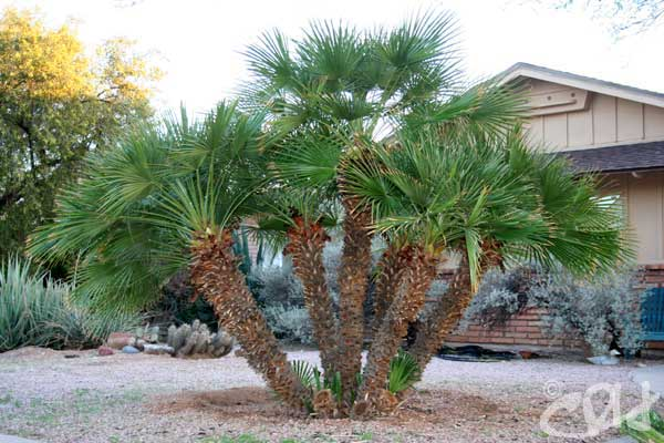 Palms Archives Arizona Living Landscape Amp Design