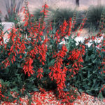 firecracker-penstemon_