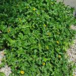 yellow-dot-Wedelia-Trilobata-plant